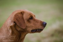 Dog_portrait_Photoshoot_Leicestershire_Labrador (1 of 1)-4