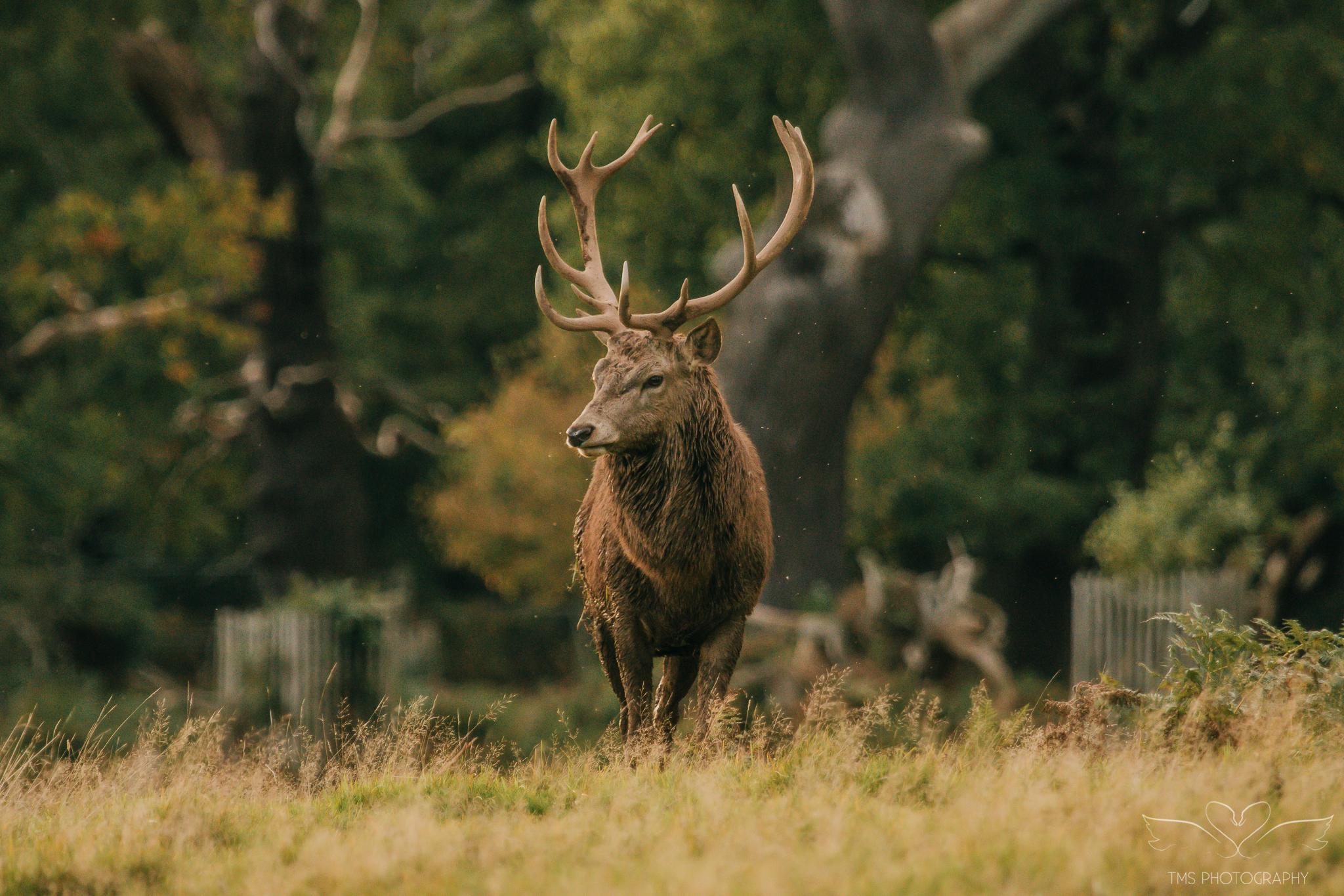 Deer_calkeparkderbyshire-20
