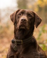 Dog_photographer_Labrador-15
