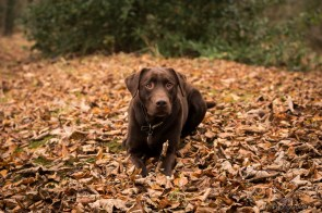 Dog_photographer_Labrador-18