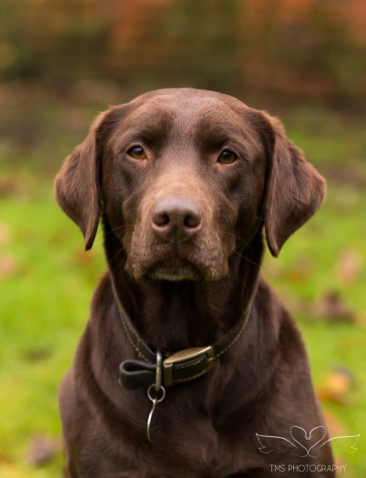 Dog_photographer_Labrador-2