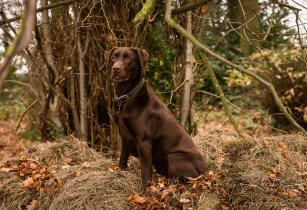 Dog_photographer_Labrador-21