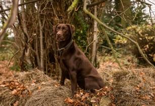 Dog_photographer_Labrador-21