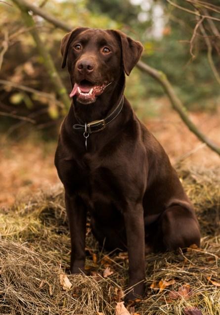 Dog_photographer_Labrador-23