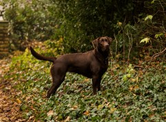 Dog_photographer_Labrador-31