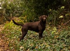 Dog_photographer_Labrador-31
