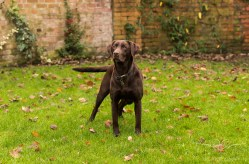 Dog_photographer_Labrador-5