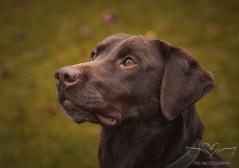 Dog_photographer_Labrador-7
