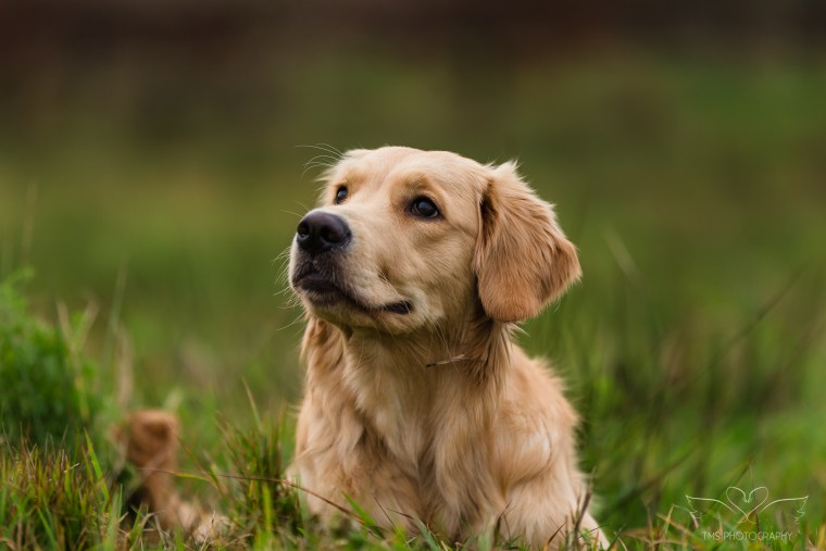 Dog_photographer_Golden_Retriever-2
