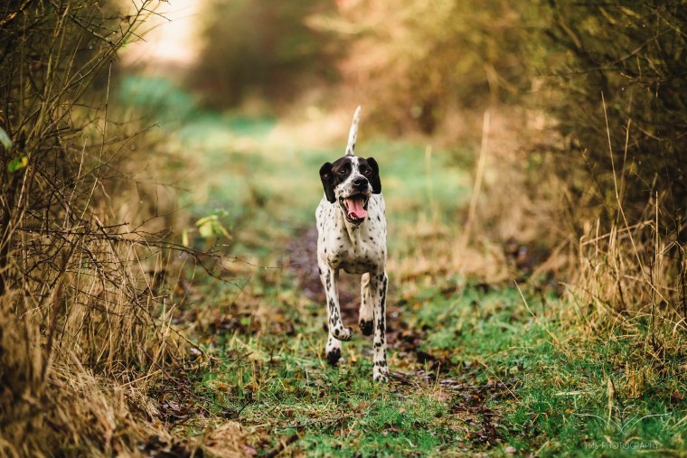 Dog_photographer_Leicestershire_English_Pointer_and_whippet-13