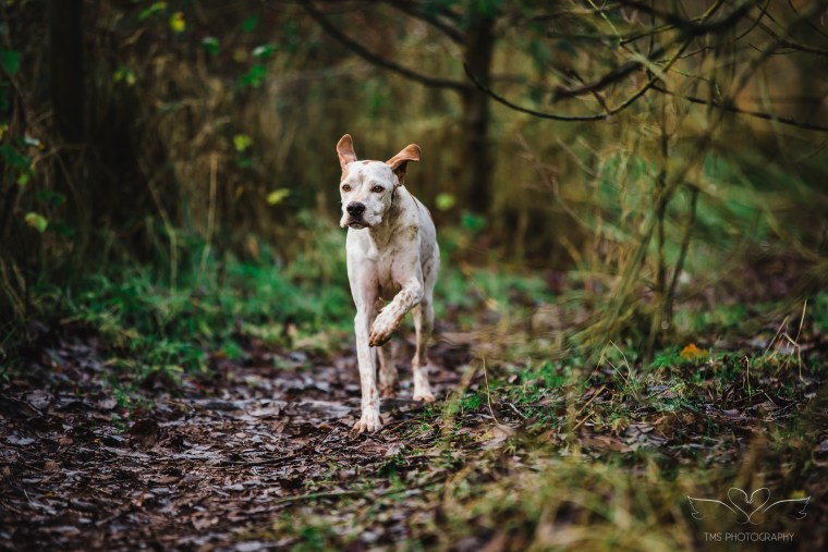 Dog_photographer_Leicestershire_English_Pointer_and_whippet-44