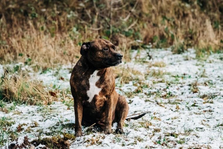 Dog_photographer_Derbyshire_Staffordshire_Bull_Terrier-11