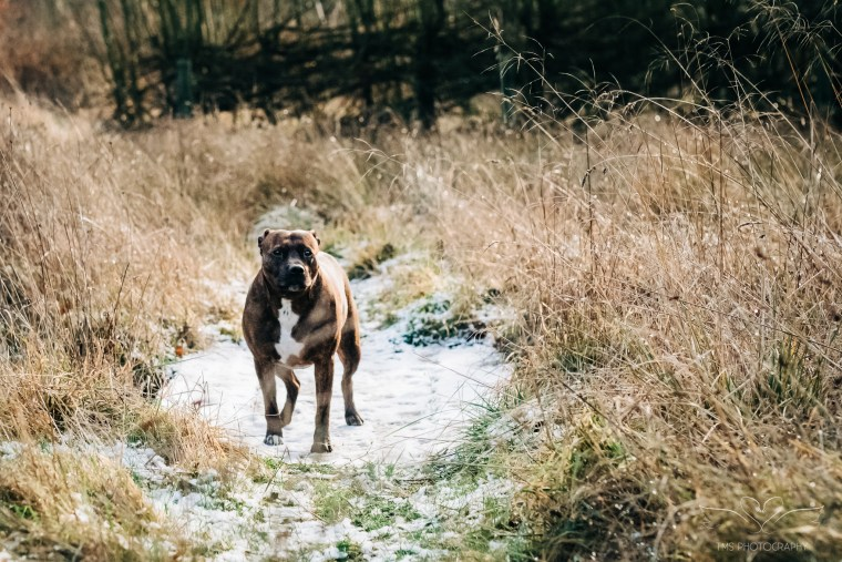 Dog_photographer_Derbyshire_Staffordshire_Bull_Terrier-9