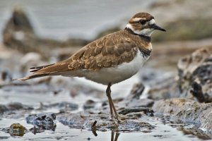 A killdeer.