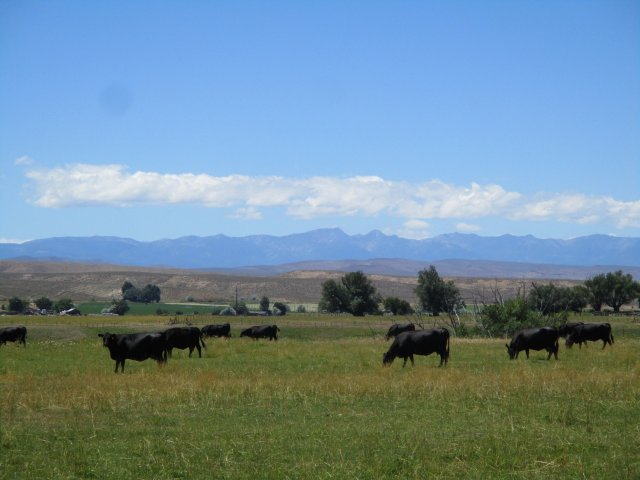 A group of black cows in a pasture.