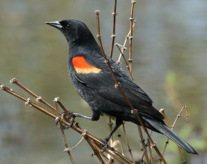 A redwing blackbird