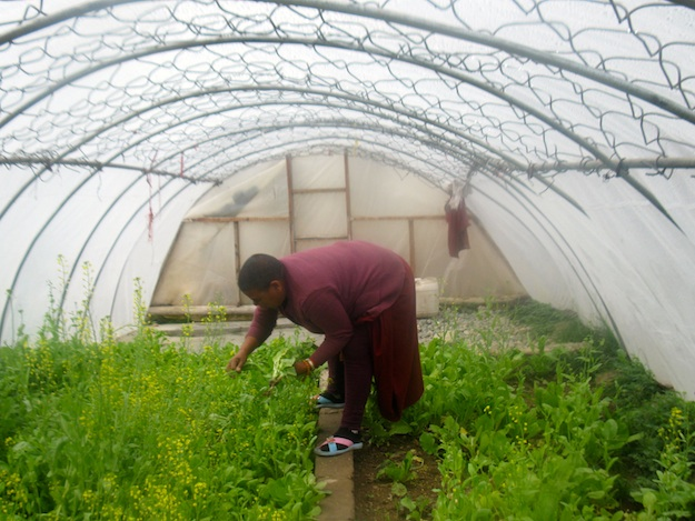 Tibetan Buddhist nun working in greenhouse Sherab Choeling 2014