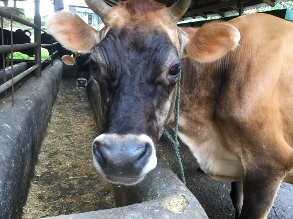 milk cow, Buddhist nunnery, Dolma Ling Nunnery, Tibetan Nuns Project, Tibetan nuns