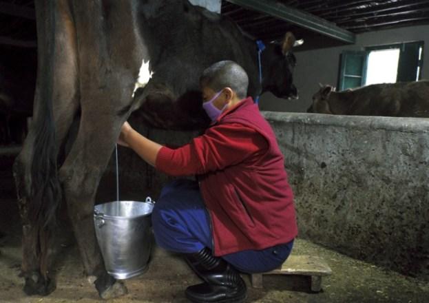 Nun milking a cow