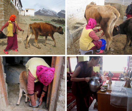 taking care of the cows at Sherab Choeling Nunnery