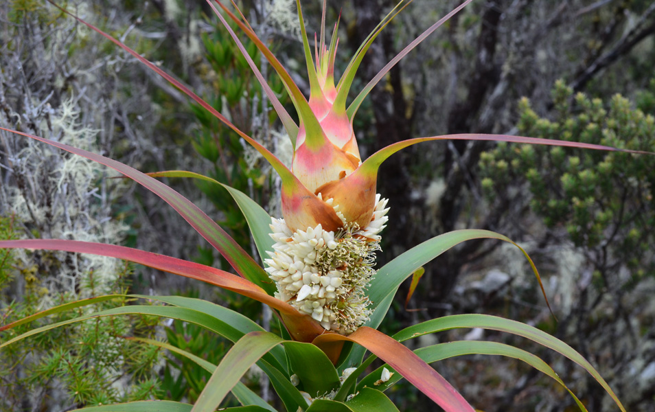 Richea Dracophylla, part of the amazing flora that can be found on the Tasman Pensinsula. Photo: John Sampson