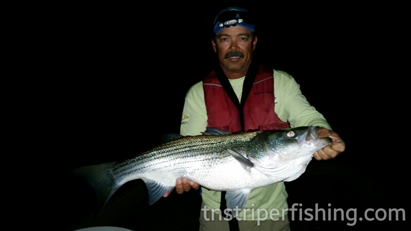 Tennessee Striper Fishing Guide Charter Services Captn Jay Lake Cherokee Norris Lake Watts Bar
