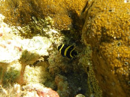 French Angel Fish Juvenile 2014-06-17 01