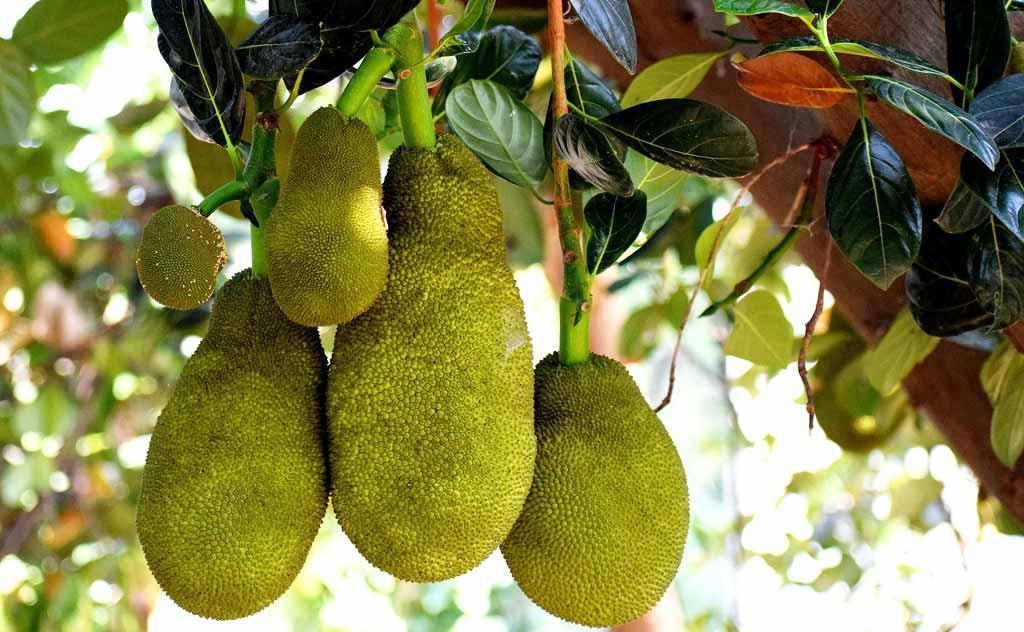 Jackfruit – Largest Fruit of Thailand