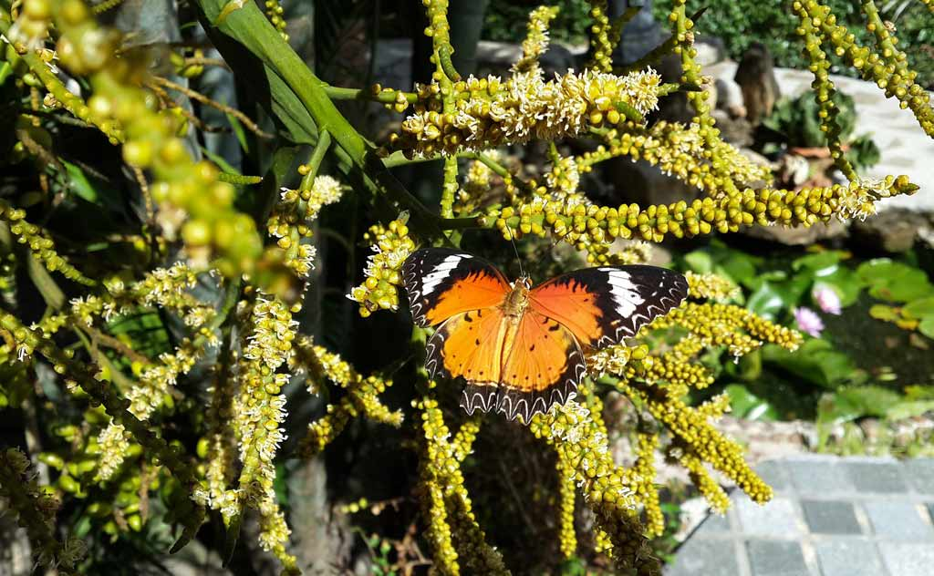 Butterfly in Butterfly Hill in Nong Nooch Tropical Garden