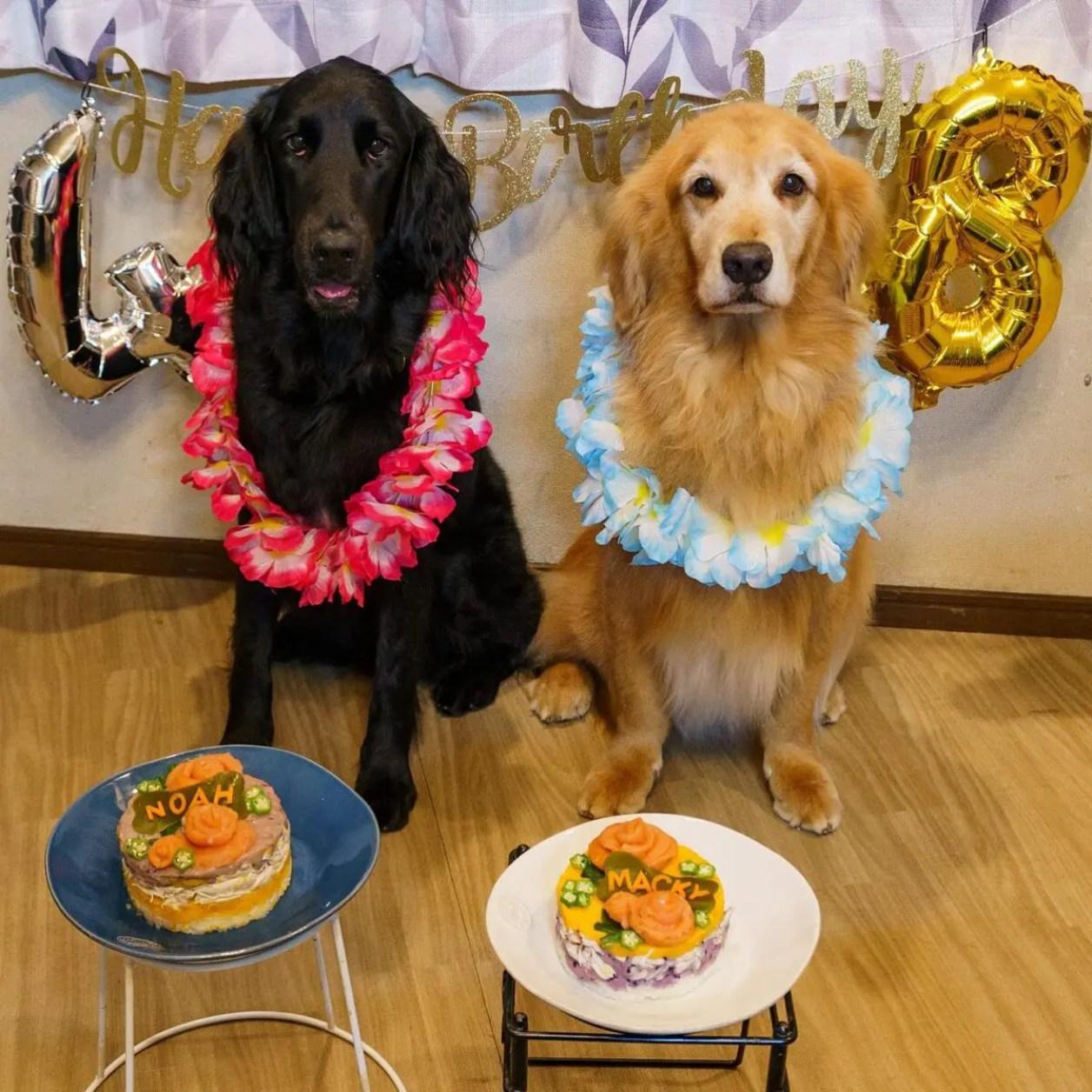 Happy Birthday!! Noa & Macky 誕生日イベントは今回渾身のわんこケーキでお祝いしました。娘と次男作のスペシャルご飯です。10/3生まれノアちゃん4才10/8生まれマキちゃん8才。そうか倍違うんだね。二人揃ってお祝いできるのが本当にうれしいです。ここにジャスティもいたら…と思うけどジャスティのお導きがなかったらノアとは出会えてなかったね。ジャスありがとう。お空から味見に飛んできたかな?  #ゴールデンレトリーバー  #フラットコーテッドレトリーバー #手作りわんこごはん #ドッグケーキ #手作りご飯