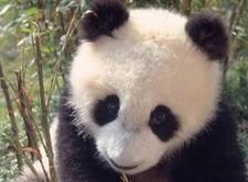 giant_panda_1