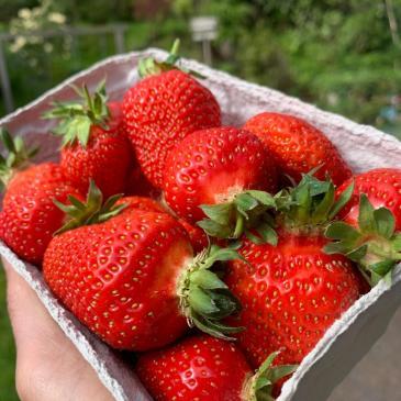20 kg Erdbeeren im Lastenanhänger