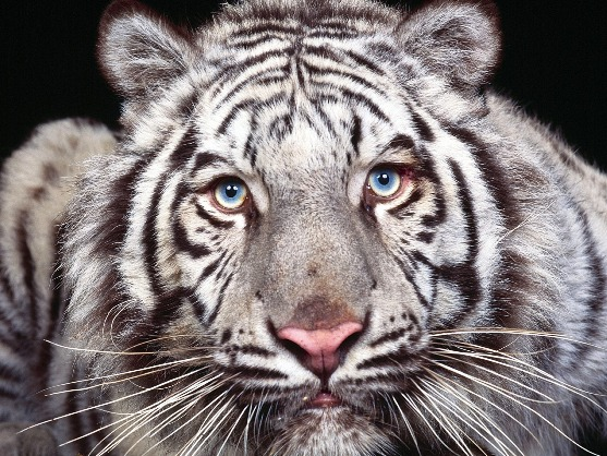 Animals Wallpapers of white tigers eyes