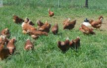 our Golden Buff chickens