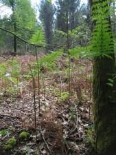 Czasami w lasach rosną takie paprocie, niemniej najczęściej te żółte kujące
