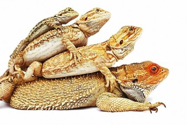 bearded-dragon-stack