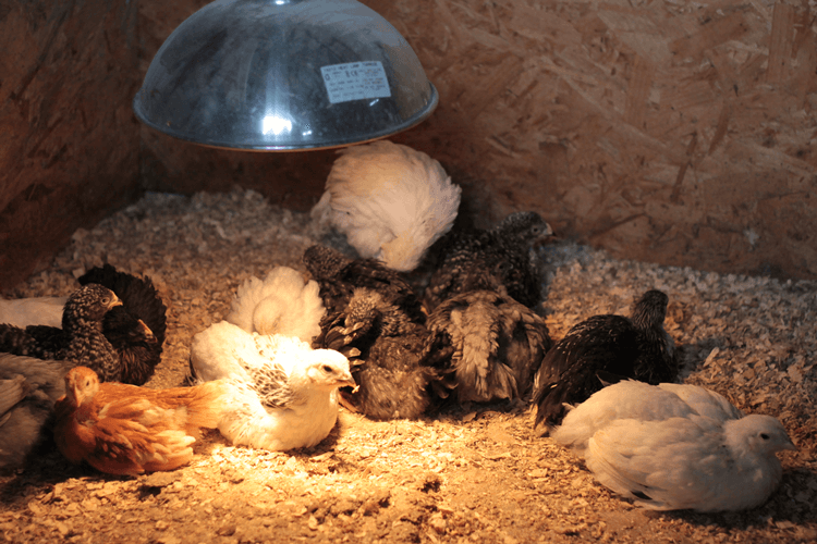 Baby chickens on the farm
