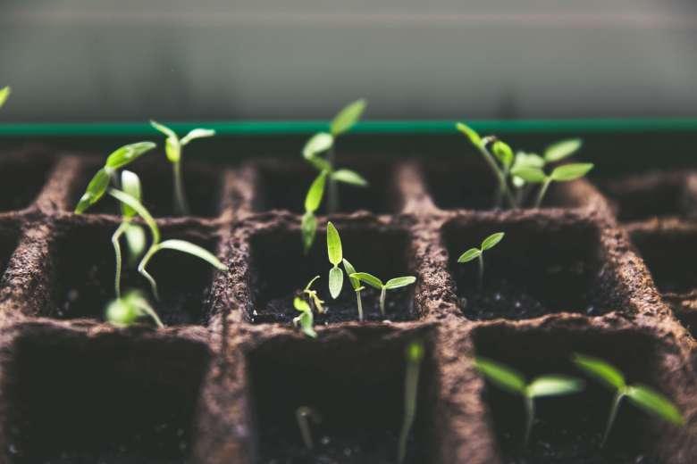 seedlings emerging in a seed tray