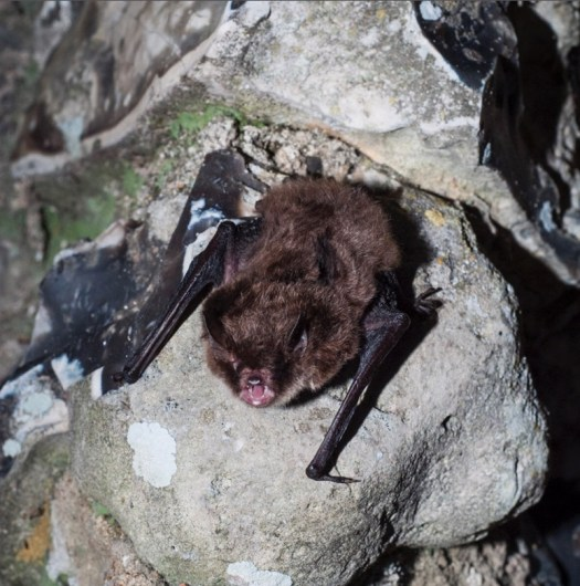 The Daubenton's bat has it's mouth open to emit echolocation calls before taking off. Normally, we cannot hear the high frequency calls, but bat detectors let us hear what it is saying!