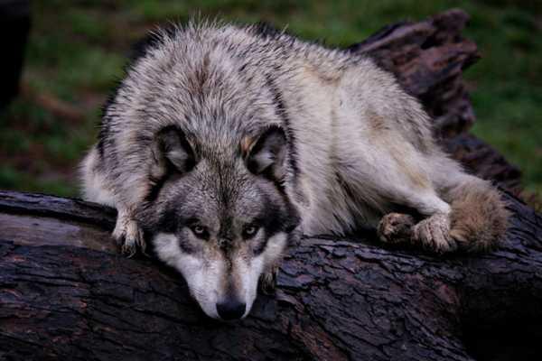 Картинки нарисованный волк – Ой!