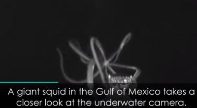 Гигантский кальмар попал на видео