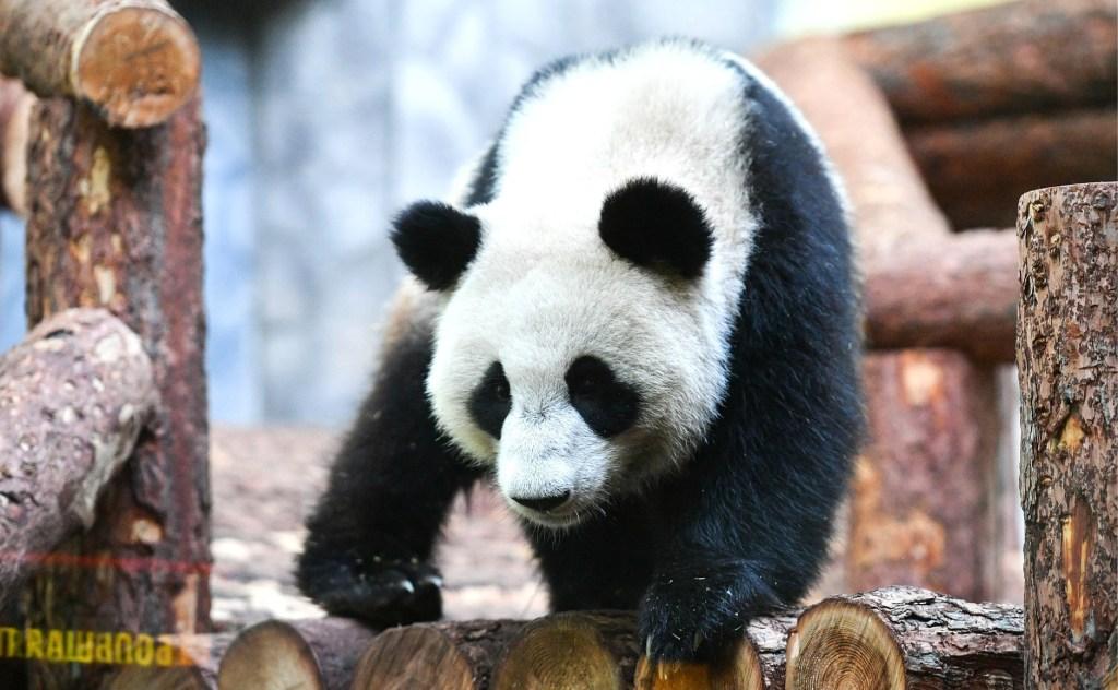 Панды Жуи и Дин-Дин доставлены в Московский зоопарк в рамках международной программы по сохранению, защите и исследованию этих животных. Фото пресс-служба президента РФ\ТАСС