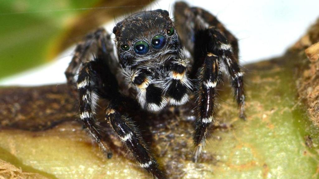 Австралийский паук названный в честь Карла Лагерфельда -  Jotus karllagerfeldi \ фото -  @welt