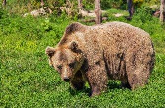 Медведь загрыз композитора на Аляске