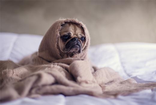 pug envuelto en una manta