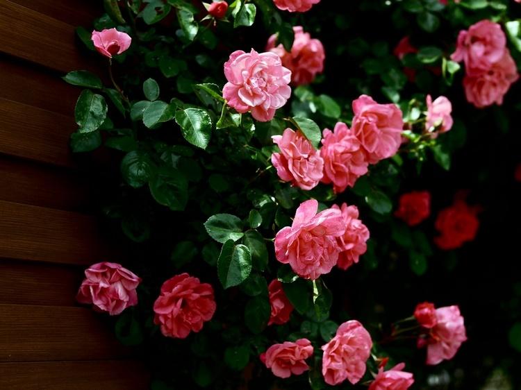 Soneto de la guirnalda de rosas - Federico García Lorca