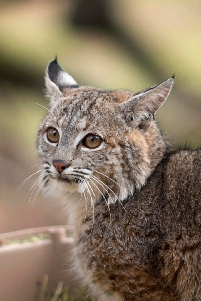 A closeup of a bobcat face