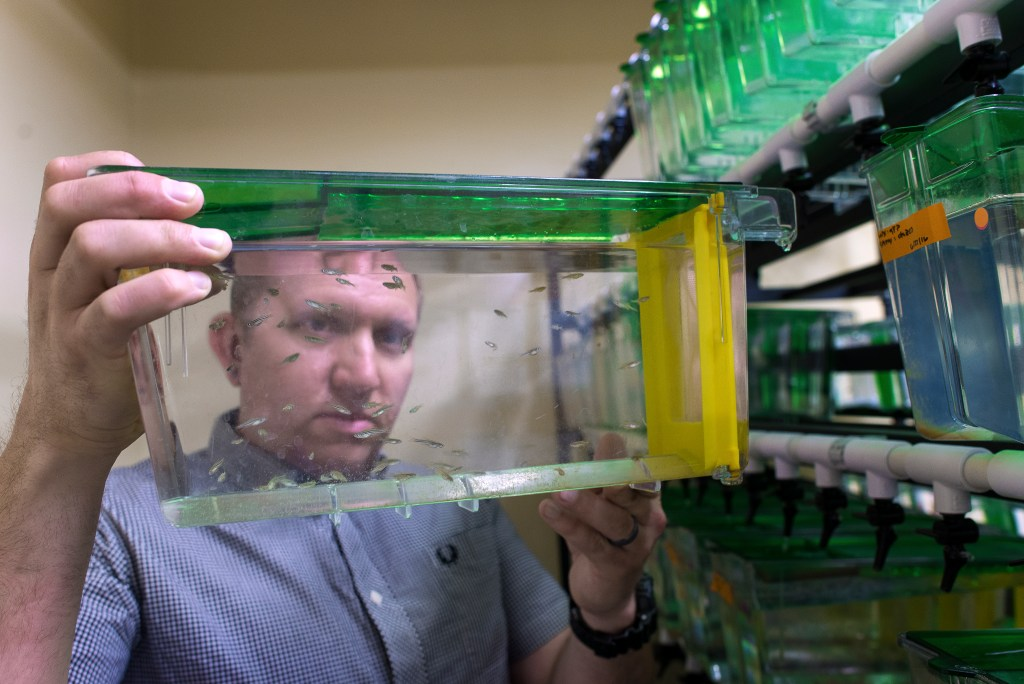 Assistant Professor Dave Stachura has students utilize zebrafish as a model system since their blood cells are similar to a human's.