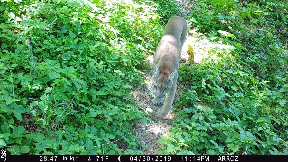 A mountain lion walks on a narrow path between clusters of poison oak and other plants.