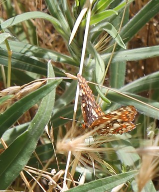 A brown and white spotted butterfly rests of a blade of grass.